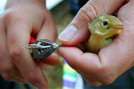 Taller de Anillamiento científico e introducción al mundo de las aves ribereñas del Tajo