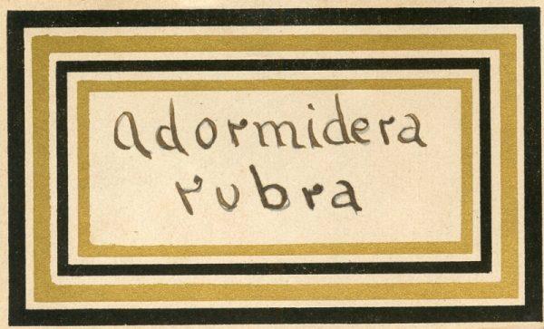 064_Adormidera Rubra