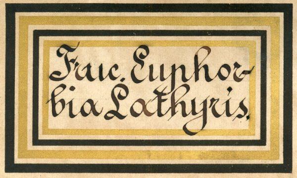 124_Fructus Euphoria Lathyris