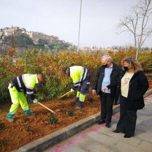 l Ayuntamiento embellece el entorno de la rotonda del Hortelano en Santa Bárbara con la plantación de 400 rosales